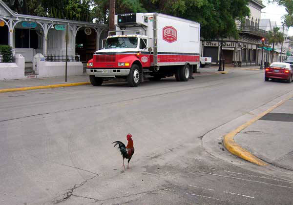 ... key gypsy chickens in key west key west chickens chickens in key west